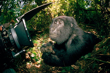 Mountain gorilla (Gorilla g beringei) being filmed in the wild DR Congo (formerly Zaire) Central Africa  -  Jabruson/ npl