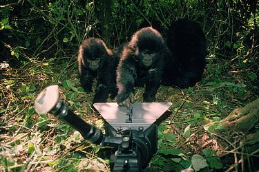 Mountain gorilla (Gorilla g beringei) being filmed in the wild DR Congo (formerly Zaire), Central Africa  -  Jabruson/ npl