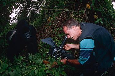 Photographer filming Mountain gorilla (Gorilla gorilla beringei) in the wild, Virunga NP, Dem Rep Congo  -  Jabruson/ npl