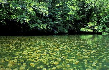 Mass of Mastigias jellyfish at surface (Mastigias sp) Palau, Western Pacific Islands  -  Michael Pitts/ npl