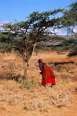 Maasai traditional ceremony, Kedong Valley, Rift valley, Kenya Mother strips bark off (Acacia) tree for binding hut sticks 1985  -  Jabruson/ npl