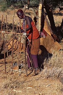 Maasai traditional ceremony, Kedong Valley, Rift valley, Kenya (Acacia) tree bark used for binding sticks to build ritual hut 1985  -  Jabruson/ npl
