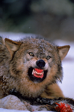 Grey wolf snarling over carcass in snow  -  David Welling/ npl