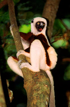 Coquerel's sifaka calling in tree Madagascar, Ankarafantsika Reserve  -  Pete Oxford/ npl