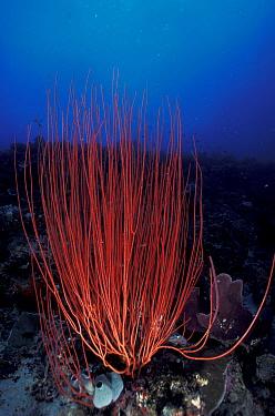 Whip Coral (Ctenocella sp) Indo Pacific  -  Jurgen Freund/ npl
