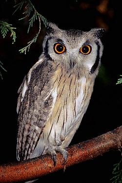 White faced scops owl (Otus leucotis) captive, from Africa  -  Rod Williams/ npl