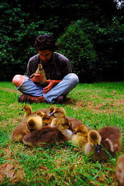 Nigel Williams acting as foster parent to imprinted Greylag goose chicks for filming of BBC tv series 'Supernatural'  -  John Downer/ npl