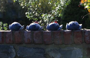 Hypnotised pigeons, immobilised by tucking head under wing Defensive behaviour  -  John Downer/ npl