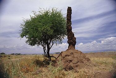 Six-meter high cooling chimney of termite colony Bogoria Kenya, East Africa  -  John Downer/ npl