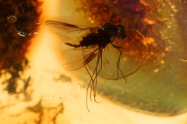 Fly trapped in 30 million year-old amber Mexico  -  John Downer/ npl