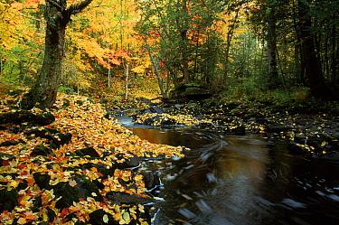 Autumn colours and woodland stream, Michigan, USA  -  Larry Michael/ npl