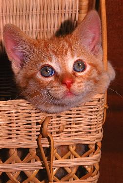 Kitten peering out of basket  -  Larry Michael/ npl