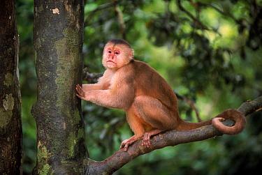White fronted capuchin monkey, Amazon, Ecuador  -  Pete Oxford/ npl