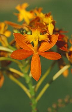 Crucifix orchid (Epidendrum ibaguense) orange fowered form Queensland, Australia  -  William Osborn/ npl