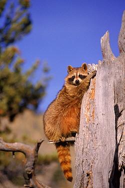 Raccoon on dead tree stump, USA  -  David Welling/ npl