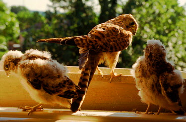 Kestrel with chicks in London window box, England  -  Charlie Hamilton James/ npl