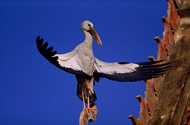 Asian openbill stork sunbathes on roof, Thailand  -  John Downer/ npl