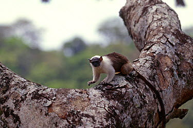 Bare faced tamarin (Saguinus bicolor) in Parkia (Parkia pendula) tree, Brazil  -  Nick Gordon/ npl