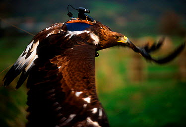 Golden eagle flying with specially adapted 'eaglecam' camera to film in flight for BBC tv programme about eagles  -  John Downer/ npl