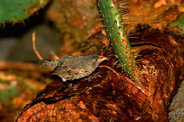 Large cactus ground finch (Geospiza conirostris) on cactus, Tower Island, Galapagos  -  Pete Oxford/ npl