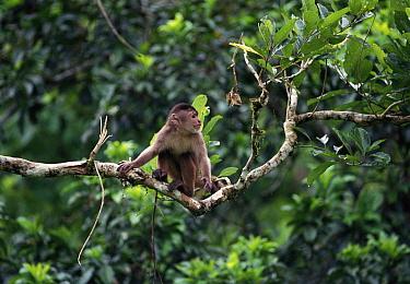 White fronted capuchin monkey in tree (Cebus albifrons) Amazonia, Ecuador, South America  -  Pete Oxford/ npl