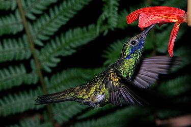 Sparkling violetear hummingbird (Colibri coruscans) feeding Venezuela  -  John Downer/ npl