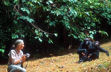 Jane Goodall with Chimpanzee family, Gombe, Tanzania  -  Karl Ammann/ npl