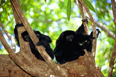 Perrier's sifakas in tree (Propithecus diadema perrieri) Analamera Reserve, Madagascar  -  Pete Oxford/ npl