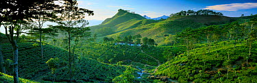 Tea plantations in the hills of Matele region, Hunas Falls nr Kandy, Sri Lanka  -  David Noton/ npl