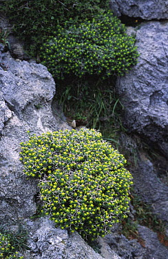 Green spiny spurge (Euphorbia acanthothamnus) Crete, Greece  -  Adrian Davies/ npl