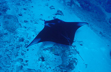 Pacific manta ray (Manta alfredi) Yap, Micronesia  -  Michael Pitts/ npl