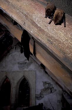Common pipistrelle bats roosting in roof (Pipistrellus pipistrellus) Bristol, UK  -  Steve Packham/ npl
