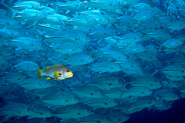 Lined sweetlips fish swims with shoal of Large-eyed jacks. Digitally manipulated image  -  Georgette Douwma/ npl