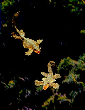 Kuhl's gecko flying, every edge of body expanded into membrane that acts as a wing as it glides (Resolution restriction, image digitised from film, 'Weird Nature' tv series)  -  Tim Macmillan/ JDP/ npl