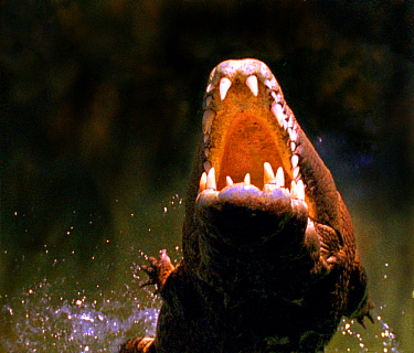 Crocodiles can overcome their huge weight to propel themselves out of water at speed (Resolution restriction, image digitised from film, 'Weird Nature' tv series)  -  Peter Nearhos/ JDP/ npl