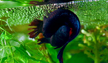 Siamese fighting fish mating, female lays eggs beneath air bubble nest blown by male After fertillisisng the eggs, the male collects the eggs in his mouth and spits them into the bubbles (Resolution r...  -  Stephen Downer/ JDP/ npl