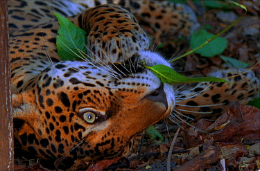 Jaguar chews on yaje leaf, known to have hallucinogenic properties (Resolution restriction, image digitised from film, 'Weird Nature' tv series)  -  JDP/ npl
