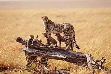Cheetah with cubs on log (Acinonyx jubatus) Kenya  -  John Downer/ npl