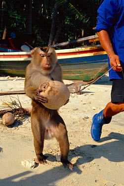 Pigtail macaque (Macaca nemestrina) trained to collect coconuts from trees, Ko Samui, Thailand  -  John Downer/ npl