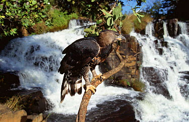 Crowned eagle (Stephanoaetus coronatus) beside Inyangombe falls, Nyanga, Zimbabwe, Southern Africa  -  John Downer/ npl