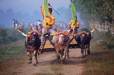 Water buffalo cart race, Bali, Indonesia 1995  -  John Downer/ npl