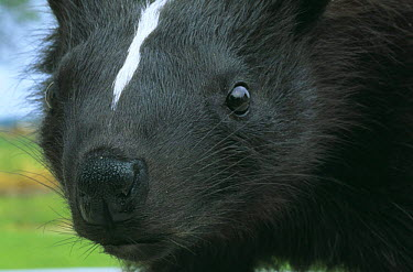 Striped skunk head portrait (Mephitis mephitis) Wisconsin, USA  -  Larry Michael/ npl