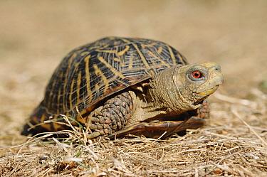 Ornate box turtle (Terrapene ornata) USA  -  Ingo Arndt/ npl