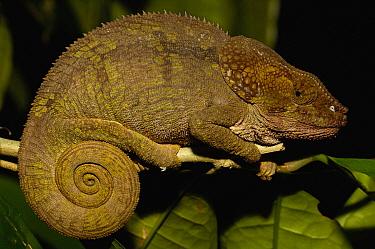 Short-horned chameleon female (Calumma brevicornis) sleeping at night, eastern rainforest, MADAGASCAR, endemic  -  Pete Oxford/ npl