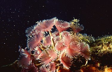 Social feather dusters (Bispira brunnea) Cuba, Caribbean sea  -  Jurgen Freund/ npl