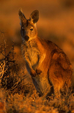 Wallaroo, Euro (Macropus robustus) at sunset, Sturt NP, New South Wales, Australia  -  Owen Newman/ npl