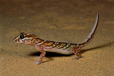 Big headed gecko in desert (Paroedura pictus) Ifaty, Madagascar  -  Nick Garbutt/ npl