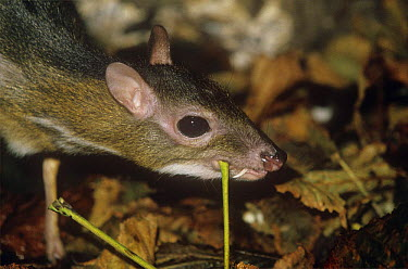 Java chevrotain, mouse deer (Tragulus javanicus) male scentmarking vegetation, captive, from Java  -  Rod Williams/ npl