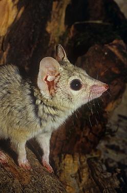 Kowari (Dasyuroides byrnei) captive, from Queensland, Australia, vulnerable species  -  Rod Williams/ npl