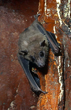 African fruit bat on wall (Rousettus aegyptiacus leachi) captive, found in Africa  -  Rod Williams/ npl
